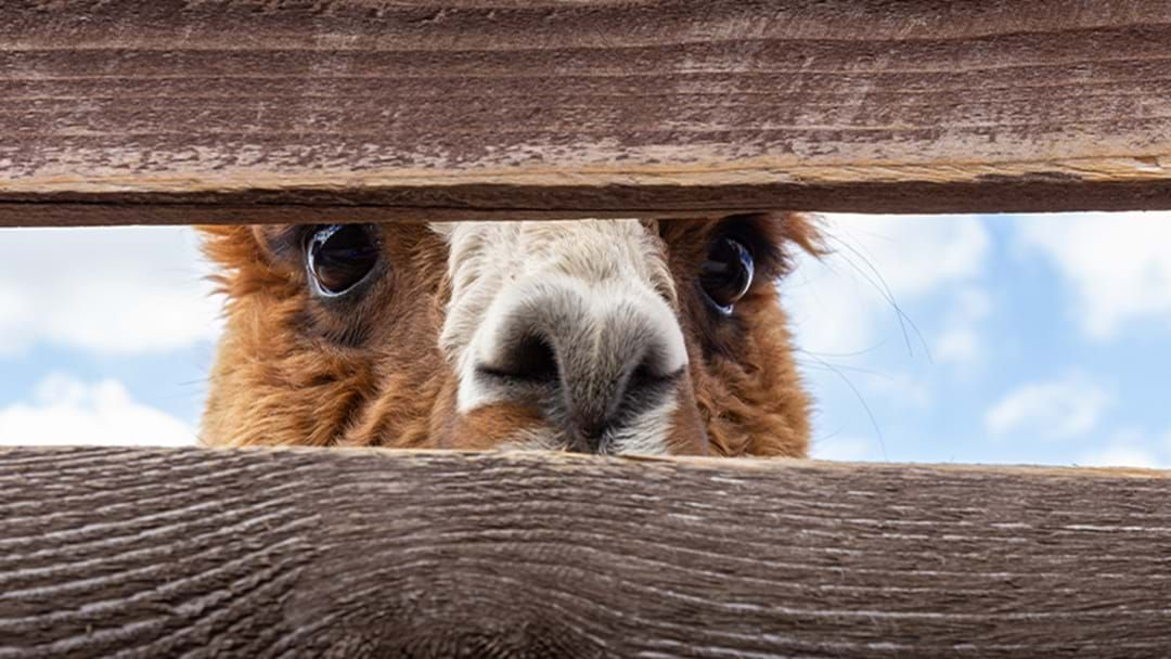 Article heading image for A Farmer Is Trying To Sell Their Alpacas For Cheap On Gumtree After They Killed Their Dog