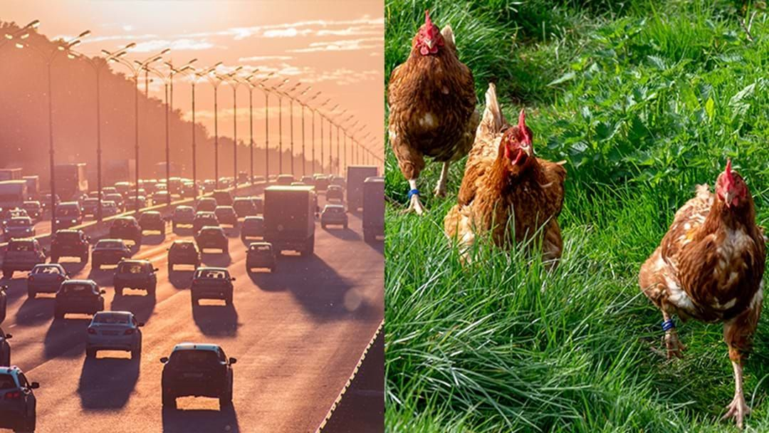 Article heading image for Adelaide Traffic Mayhem As Truck Crash Releases Thousands Of Live Chickens Over Highway