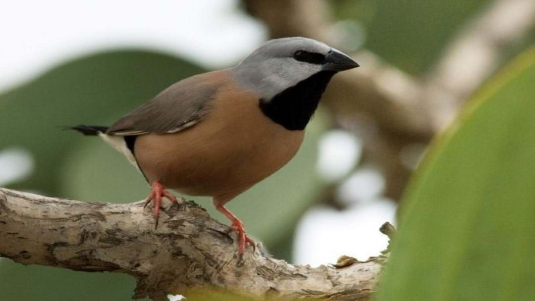 Article heading image for Adani's Plan To Conserve Black Throated Finch Gets The Mine One Step Closer