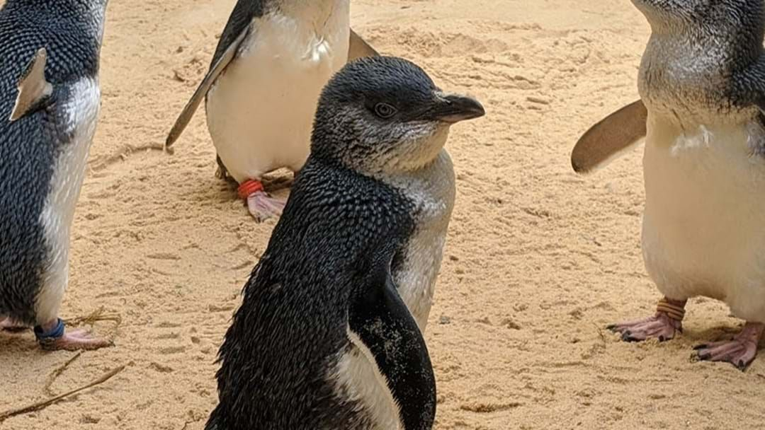 Article heading image for SEA LIFE Sydney Aquarium Have Welcomed Three New Little Penguins!