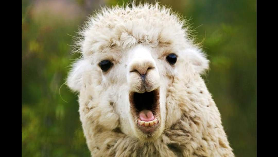 Article heading image for A guy has to go to court for allegedly cutting a toy llama's head off...