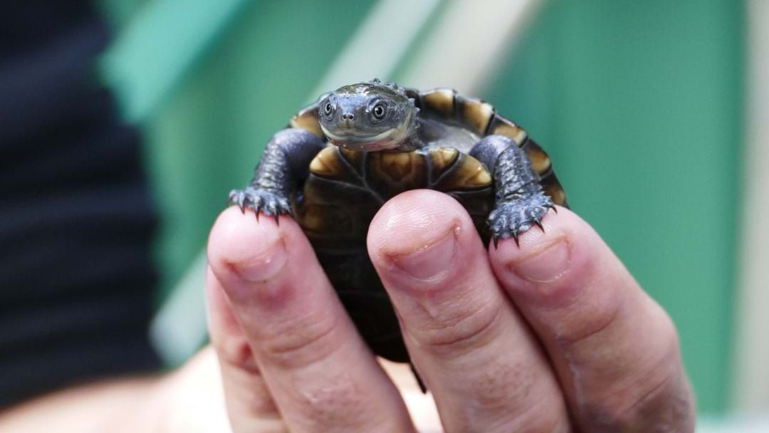 Article heading image for HOLY CUTE: Adelaide Zoo Has Welcomed Critically-Endangered Baby Tortoises!