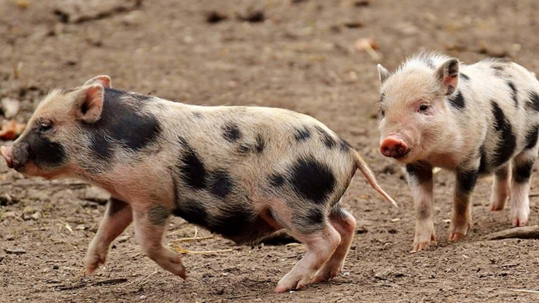 Article heading image for Oink, Oink – It's the Sandy Creek Pig Races!