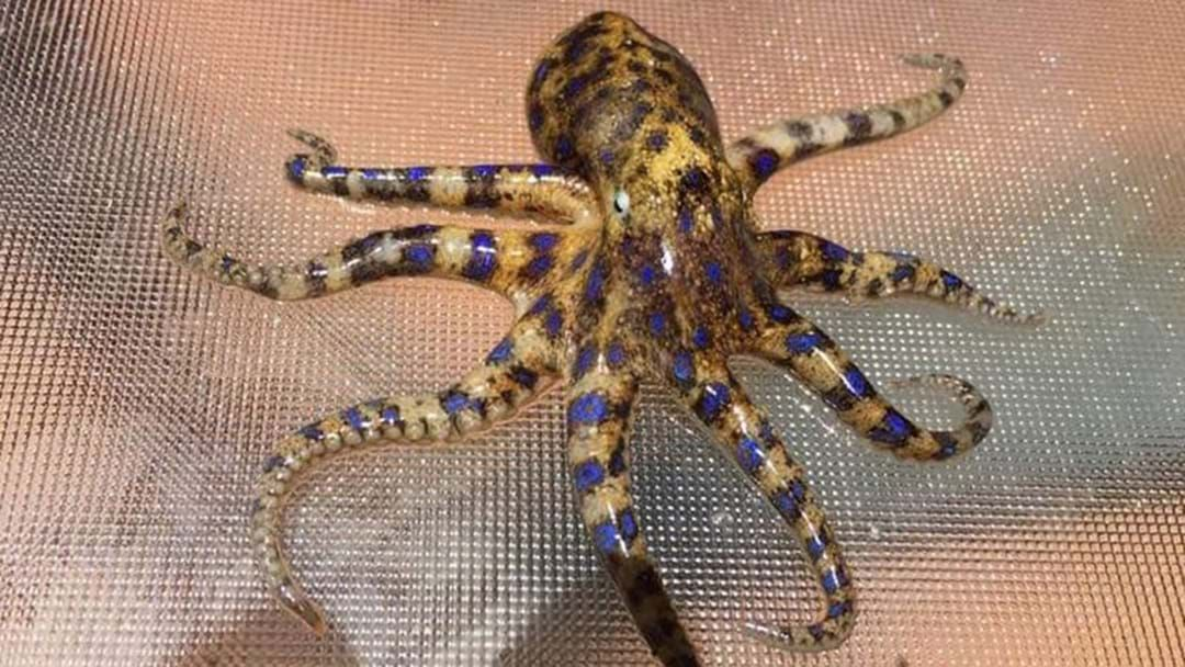 Article heading image for Girl Finds Deadly Octopus While Collecting Shells On WA Beach