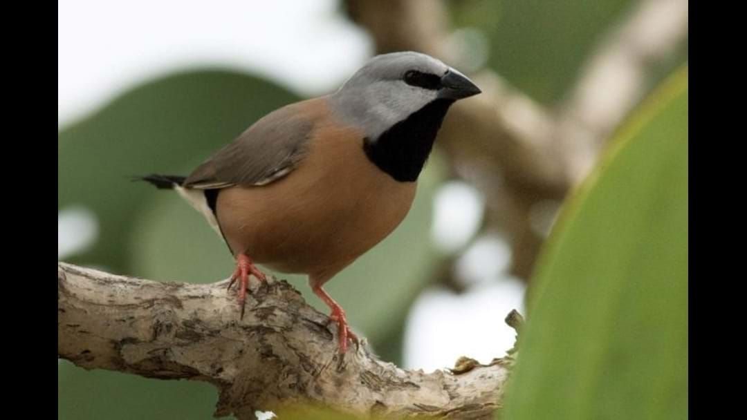 Article heading image for Adani's Black Throat Finch Management Plan