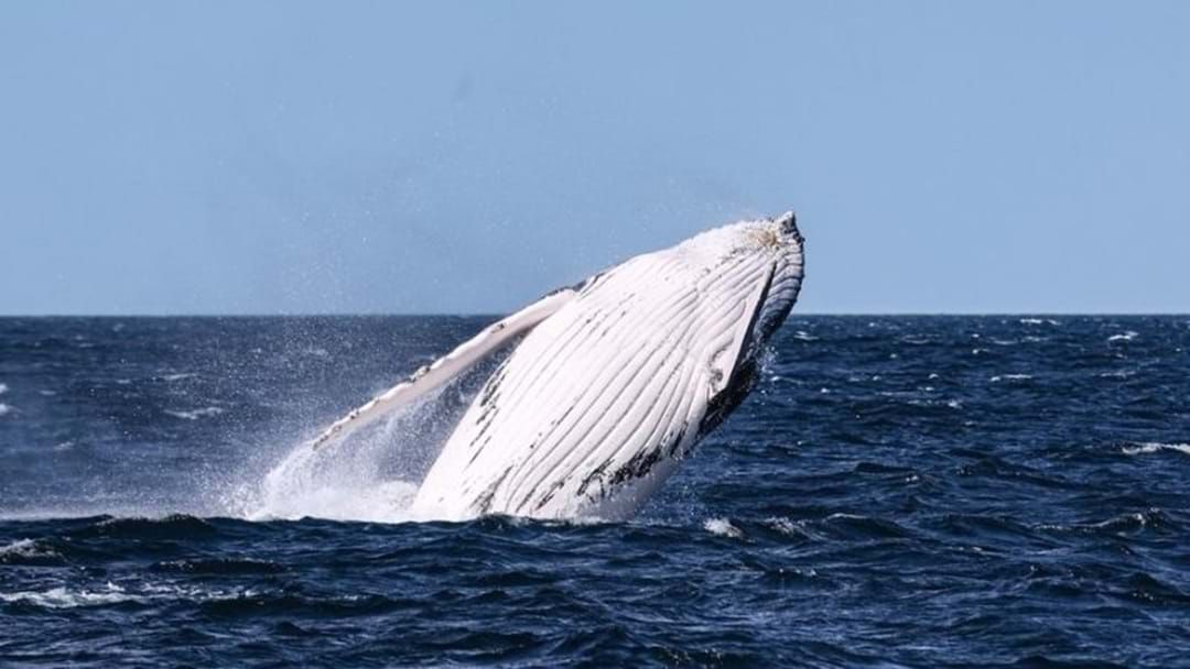 Article heading image for Boaties Urged To Keep Away From Whales Migrating North