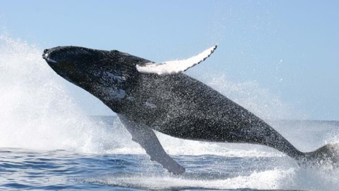 Article heading image for The Phillip Island Whale Festival Is Almost Here!