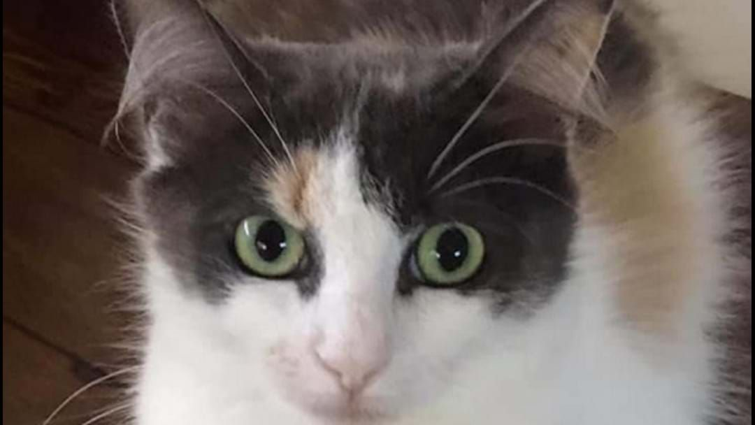 Article heading image for Mackay Pound Rescue Has Had 60% Of Their Cats Adopted During Covid!