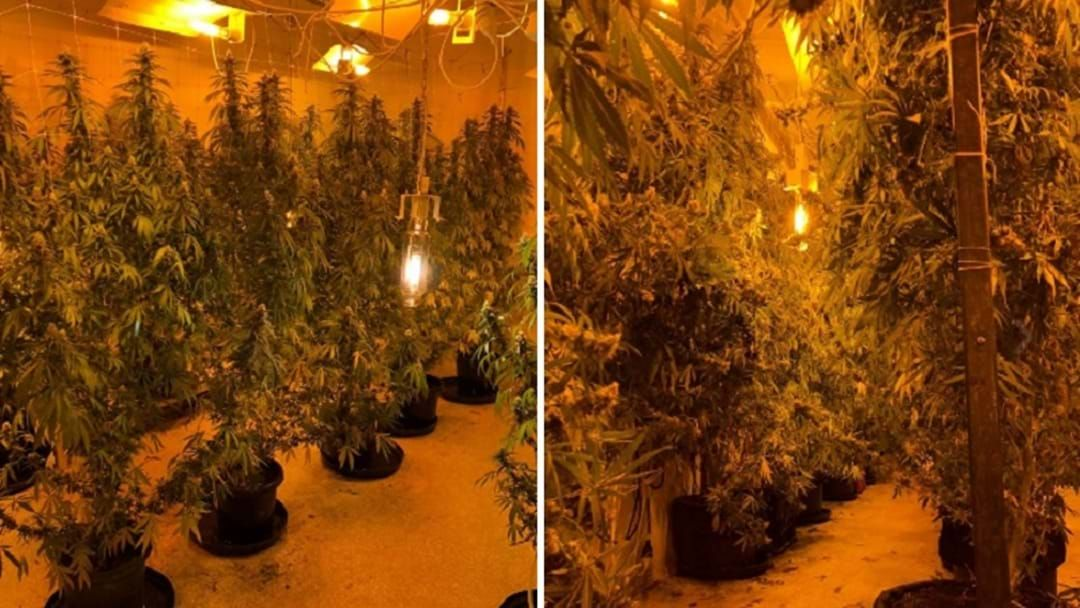 Article heading image for WATCH: Half A Million In Cannabis Seized In Wongawallan